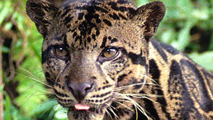редкий вид дымчатого леопарда
